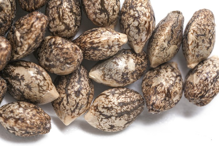 nasiona feminizowane